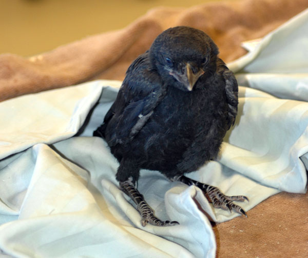 Fluffy Baby Crow